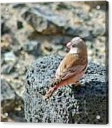 Trumpeter Finch Acrylic Print