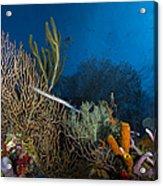 Trumpetfish, Belize Acrylic Print