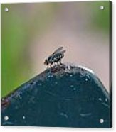 tThat fly on the wall Acrylic Print