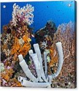 Tube Sponge On Coral Reef In Raja Acrylic Print