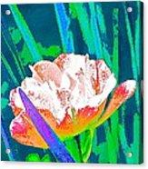 Tulip 45 Acrylic Print