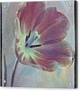 Tulip Adventure Acrylic Print