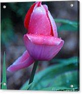 Tulip After The Rain Acrylic Print