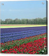 Tulip And Hyacinth Fields In Holland. Panorama Acrylic Print