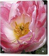 Tulip Angelique Acrylic Print
