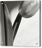 Tulip At My Window Acrylic Print