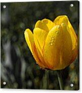 Tulip Drops Acrylic Print