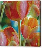 Tulip Fascination Acrylic Print