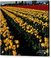 Tulip Fields Forever Acrylic Print
