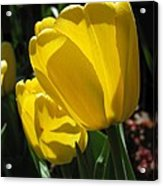 Tulip Named Big Smile Acrylic Print