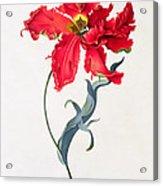 Tulip Perroquet Rouge Acrylic Print
