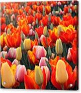 Tulip Sunset 2 Acrylic Print