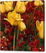 Tulip Sunshine Acrylic Print