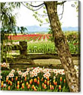 Tulip Time In The Skagit Valley Acrylic Print