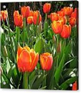 Tulip Time Acrylic Print by Margaret Hodgson