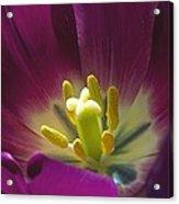 Tulip (tulipa Sp.) Acrylic Print