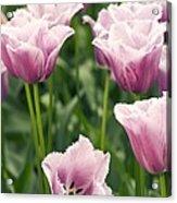 Tulipa 'blue Heron' Acrylic Print