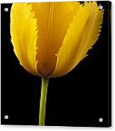 Tulipa Jaune Acrylic Print by Martin Williams