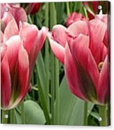 Tulipa Viridiflora 'adrian T Dominique' Acrylic Print
