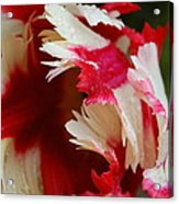 Tulips - Red And White Acrylic Print