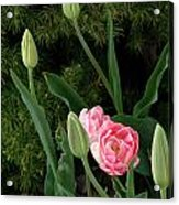 Tulips And Evergreen Acrylic Print
