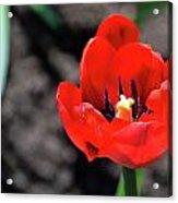 Tulips Blooming Acrylic Print