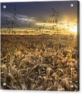 Tumble Wheat Acrylic Print