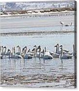 Tundra Swan - 0056 Acrylic Print