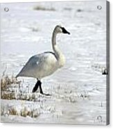 Tundra Swan - 0060 Acrylic Print