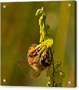 Tupelo Honey Acrylic Print