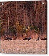 Turkey - Wild Turkey - Seventeen Longbeards Acrylic Print