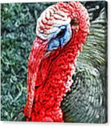 Turkey Brawn  Acrylic Print