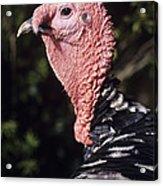 Turkey Cock Acrylic Print