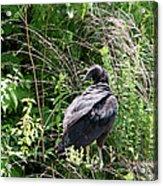 Black Vulture - Buzzard Acrylic Print