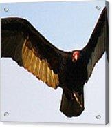 Turkey Vulture Evening Flight Acrylic Print