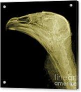 Turkey Vulture Head, X-ray Acrylic Print