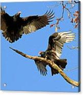 Turkey Vultures Acrylic Print