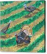 Turkeys In Field Acrylic Print