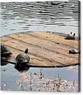 Turtle Family Beach Acrylic Print by Suzanne Gaff