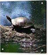Turtle I Acrylic Print