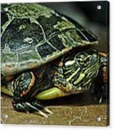 Turtle Neck Acrylic Print