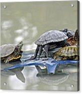 Turtle Pileup Acrylic Print
