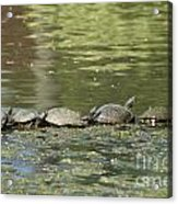 Turtle Traffic Jam Acrylic Print