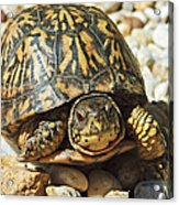 Turtle With Red Eyes On Rocks Acrylic Print