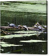 Turtles On Log Scarboro Pond#1  Acrylic Print