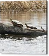 Turtles Pretending To Be Part Of The Log Acrylic Print