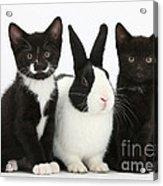 Tuxedo Kittens With Dutch Rabbit Acrylic Print