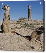 Two Adult Meerkats Suricata Suricatta Acrylic Print
