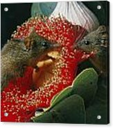 Two Australian Honey Possums Feed Acrylic Print