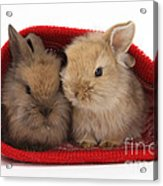 Two Baby Lionhead-cross Rabbits Acrylic Print